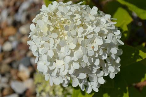 hydrangeas flowers hydrangea