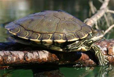 louisiana map turtle cryptomundo 187 new turtle species discovered in usa