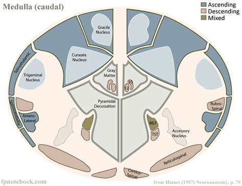 medulla cross section medulla oblongata