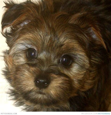 yorkie ton temperament yorkie ton breed information large dogs that shed least breeds picture