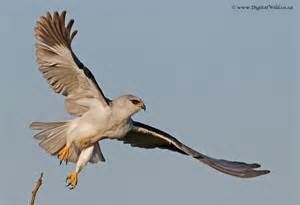 Black shouldered kite swooping to the side These aerial acrobats and their cousins can be found