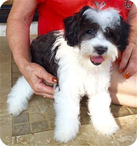 havanese maltese mix puppies jake puppy adopted puppy norma encino ca havanese maltese mix