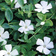 Garten Pflanzen Bestellen 647 by Isotoma White Splash Als Bodendecker In Wei 223 Und Evt