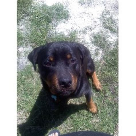 rottweiler breeders south florida s rottweiler s rottweiler breeder in port florida