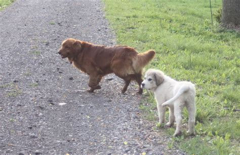 silly golden retriever some silly golden retrievers lifesgoldenmoments