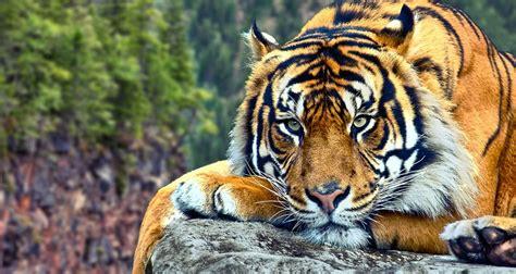 minicuentos de tigres y gu 237 a sobre los tigres im 225 genes y fotos
