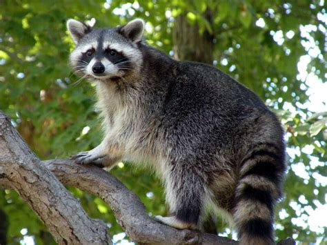 how to a coon to tree a raccoon all about raccoons