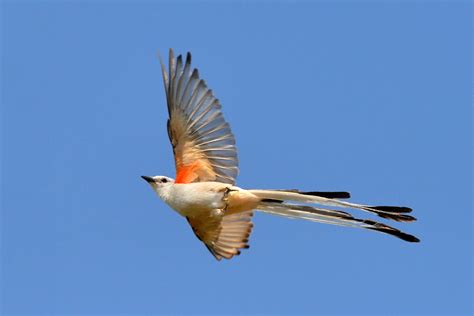 scissor tailed flycatcher oklahoma state bird shot