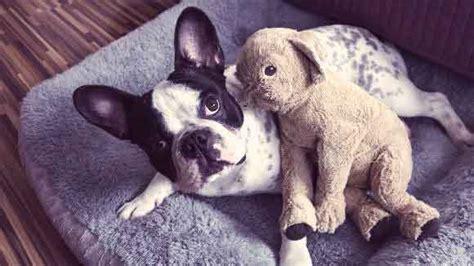 syringomyelia in dogs syringomyelia in dogs petcarerx