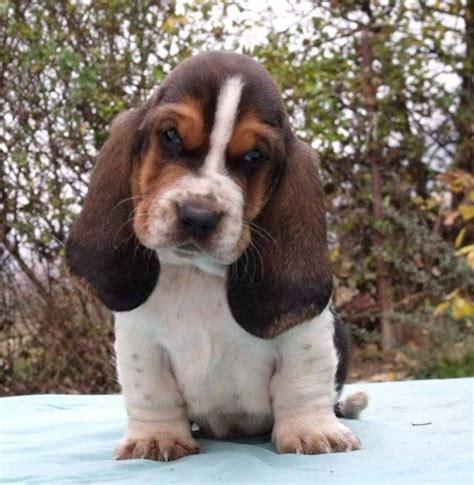 Baju Hush Puppies Ori Sale 320 320 best ideas about bassett hounds on basset puppies pets and puppys