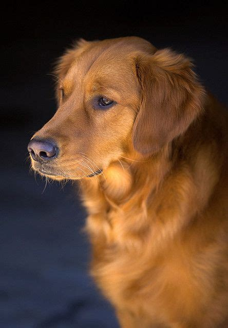 how much money is a golden retriever puppy best 25 golden retrievers ideas on golden golden retriever