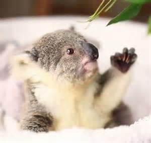 Pics photos funny koala bear pictures funny llama memes