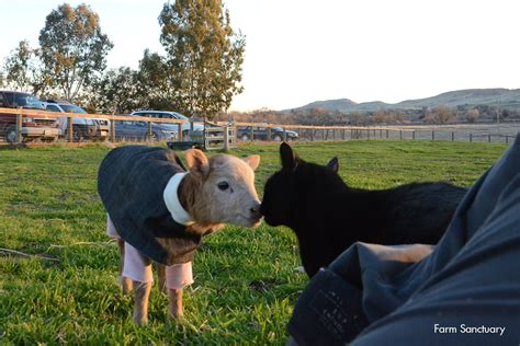 farm sanctuary a day in the life of a lamb farm sanctuary blog