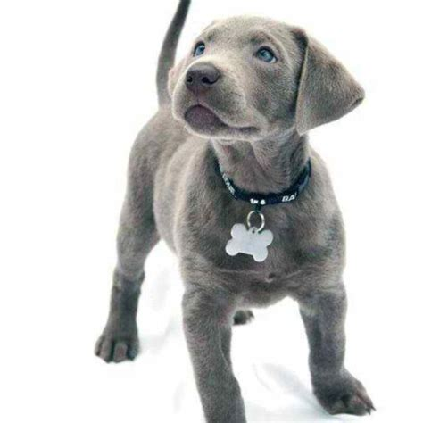blue lab puppies 17 best ideas about lab on puppy cake chocolate labs and black labs dogs