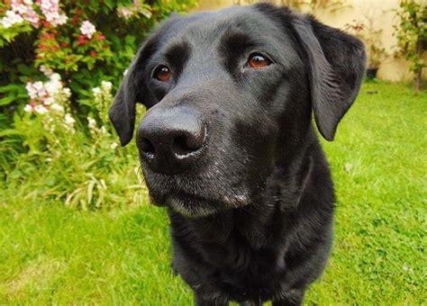 Imagenes Labrador Negro | perro labrador negro informaci 243 n fotos y videos