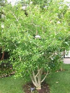 Xmas Flowers - witbos gardenia thunbergia