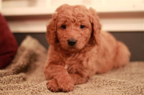 goldendoodle puppy rescue ma 7 week goldendoodle puppy adopted from river