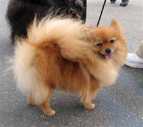 pomeranian doll dogs information on small breeds and pictures of miniature dogs