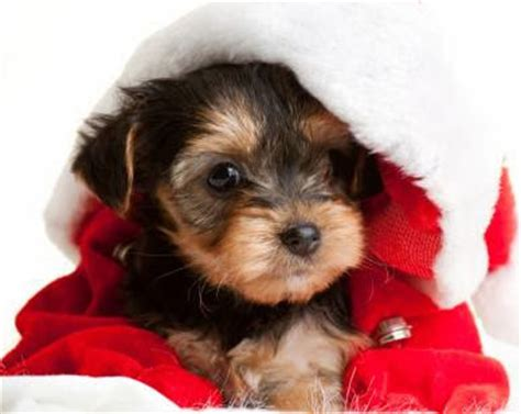 buy a teacup yorkie list of best 10 place to buy teacup yorkies teacup yorkie