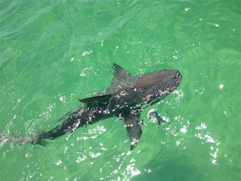 fishing boat rentals near destin florida destin shark fishing charter with reel deal charters