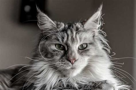 allergia alimentare gatto allergia gatto sintomi allergia gatto sintomi i sintomi di
