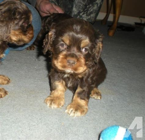 cocker spaniel puppies for sale in tn akc cocker spaniel puppy for sale in gassaway tennessee classified americanlisted