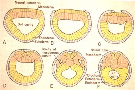 pattern formation ectoderm the phylogenetic distribution of neural crest