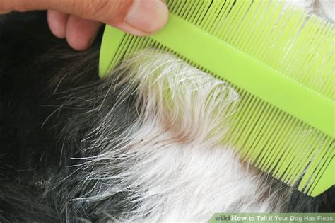 puppy has fleas how to tell if your has fleas 10 steps with pictures