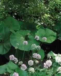 large leaf garden on pinterest perennials gardening and
