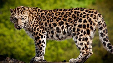 imagenes de uñas animal print 2015 leopardo y mariquita pl 225 stica en la red