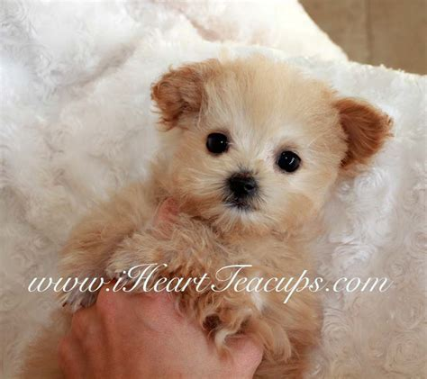 pug puppies for sale boise idaho maltipoo puppies for sale kentucky breeds picture