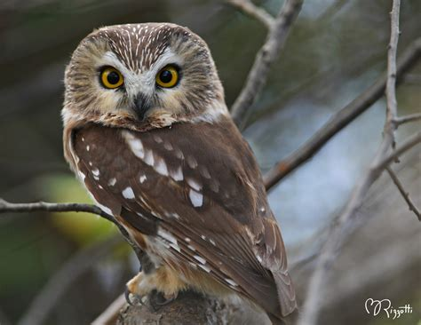 Piyama Owl Blue Piyama Owl the blue owl of the philippines 19 31