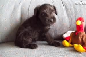 puppies for sale in dubuque iowa schnauzer miniature puppy for sale near dubuque iowa d9cbecf8 d401