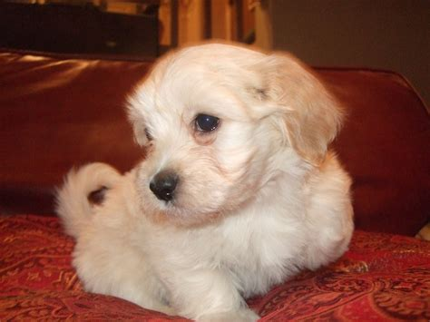 happy paws havanese previous puppies not available