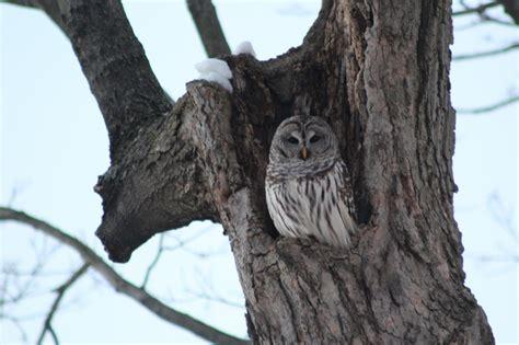 barred owls in cincinnati otr homegrown