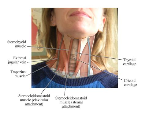 diagram of the neck human anatomy for the artist up and personal let h