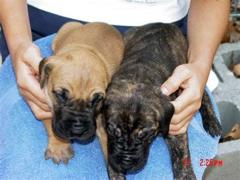 fawn great dane puppies for sale great danes fawn brindle akc color puppies stud service