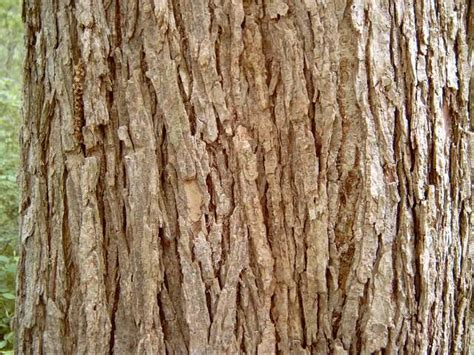 Elm Tree Bark Identification