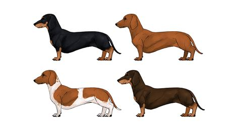 dachshund colors how to draw a details make the difference