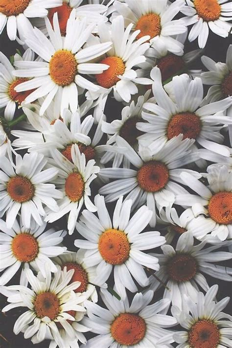 daisy wallpaper pinterest daisies iphone wallpaper i phone cases wallpaper
