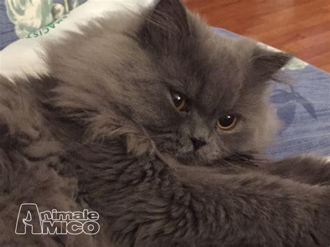 gatti persiani normotipo accoppiamento persiano da privato a gatti persiano