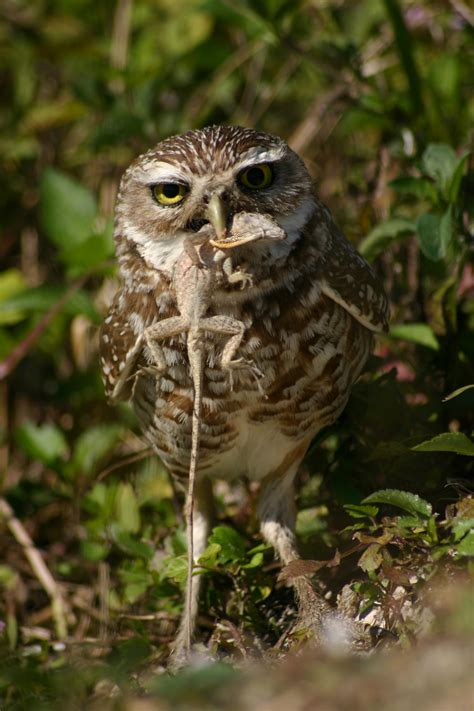burrowing owl eating pictures to pin on pinterest pinsdaddy