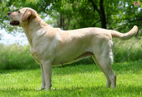 pedigree breed the of breed clubs in the improvement of pedigree breeds pets4homes