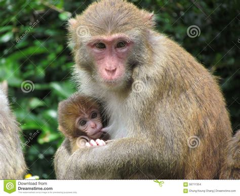 baby monkey feeding time monkey feeding stock photo cartoondealer 795060