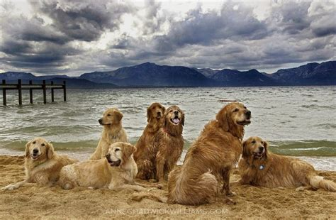 chadwick golden retrievers a pack of golden retrievers at lake tahoe captured by chadwick williams this