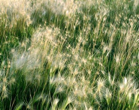 grasses western nebraska flickr photo sharing