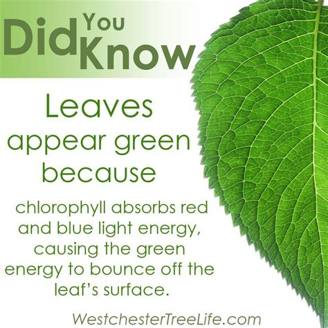 facts about green 14 best images about did you know tree facts on pinterest