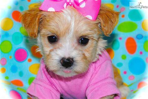 maltipoo puppies for sale in dallas malti poo maltipoo puppy for sale near dallas fort worth 8ef981a6 c231