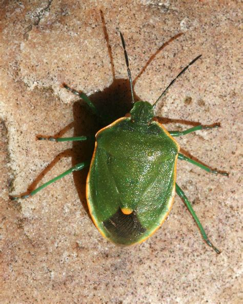 all about bed bugs what s the difference between a bug and a beetle naturally north idaho