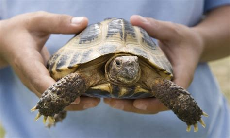 6 Reasons To Get A Tortoise by Don T Touch That Turtle Surprising Reasons Your Pet Is